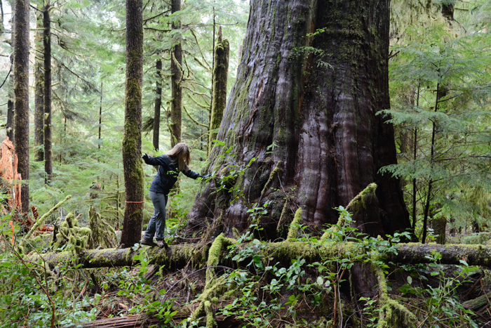 A giant red cedar tree in an old growth forest in British Columbia, Canada,