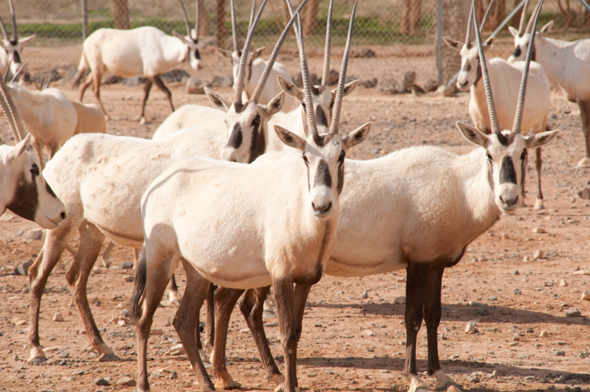 Arabian oryx at the Shaumani Wildlife Reserve, Jordan