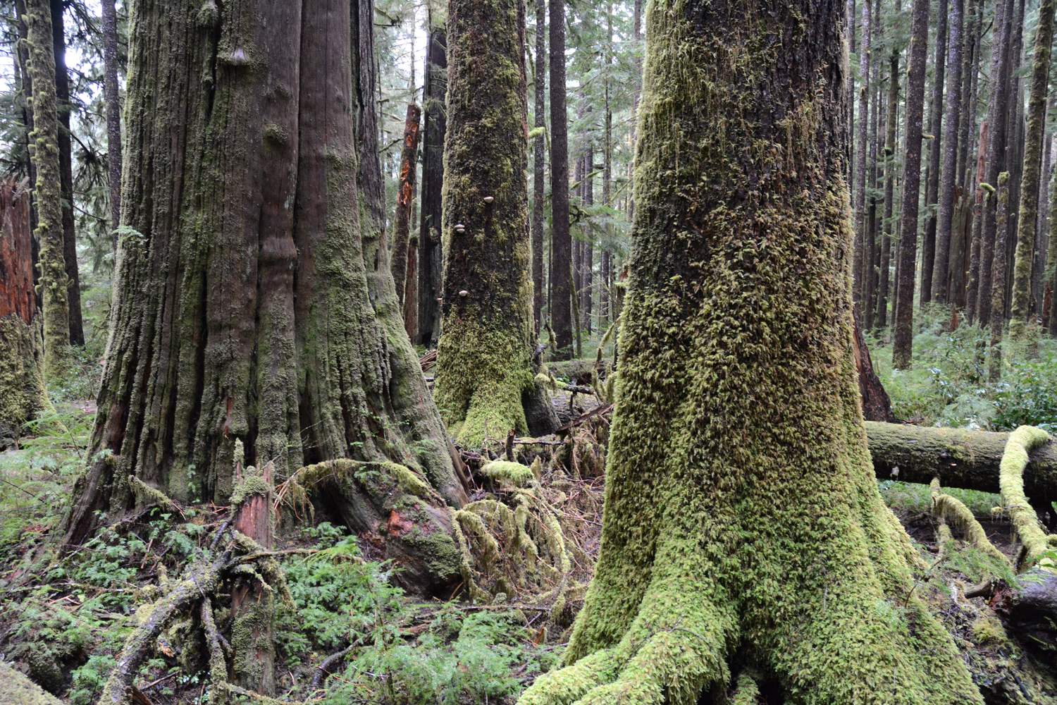 An old growth rainforest on Vancouver Island, British Columbia, Canada
