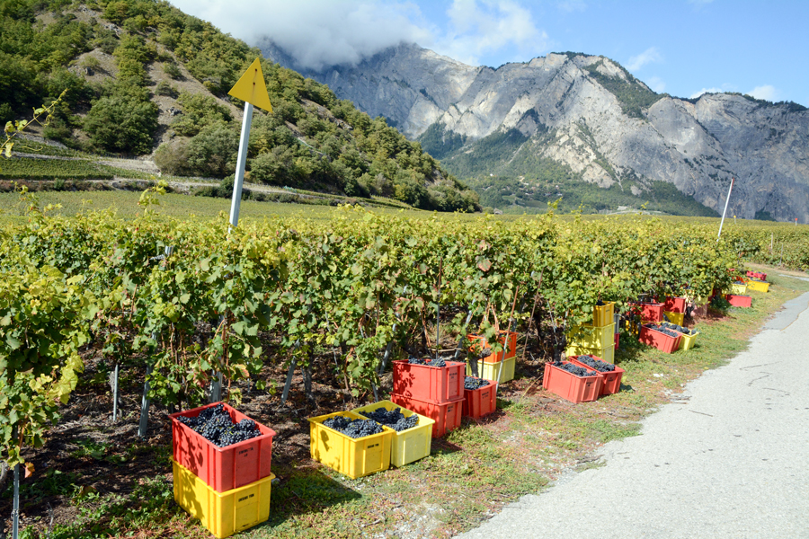A vineyard near the town of Chamoson, Switzerland