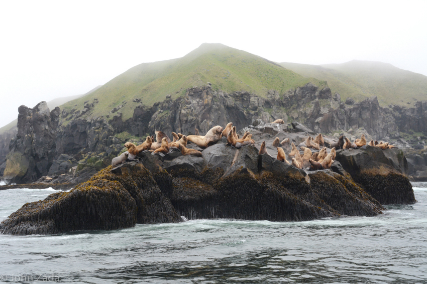 Sea lions and rookery, Dutch Harbor, Unalaska Island, Aleutian Islands, Alaska