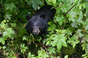 A black bear at the Fish Creek Wildlife viewing platform in Hyder, Alaska